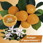 calamondin citrus madurensis. Black Bedroom Furniture Sets. Home Design Ideas