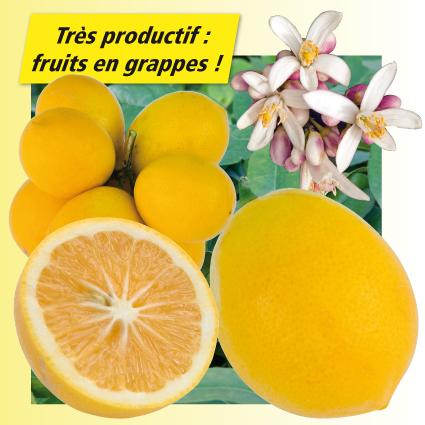 Citronnier meyer citrus meyeri - Citronnier feuilles jaunes ...