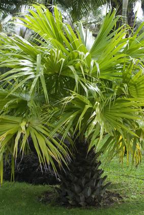 Howea forsteriana - Sortes de palmiers ...