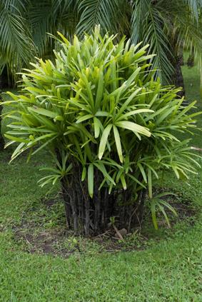 Rhapis excelsa - Photos de toutes sortes de palmiers ...