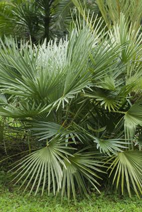 Sabal minor - Palmier resistant au froid ...