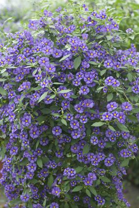 Pour un jardin bleu solanum rantonnetti - Arbuste a fleurs bleues ...