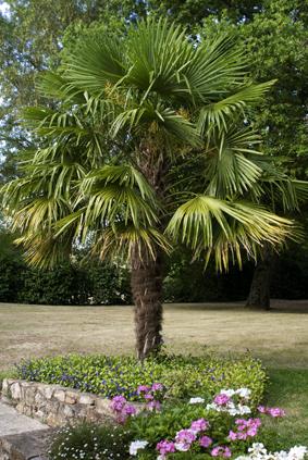 palmier variete